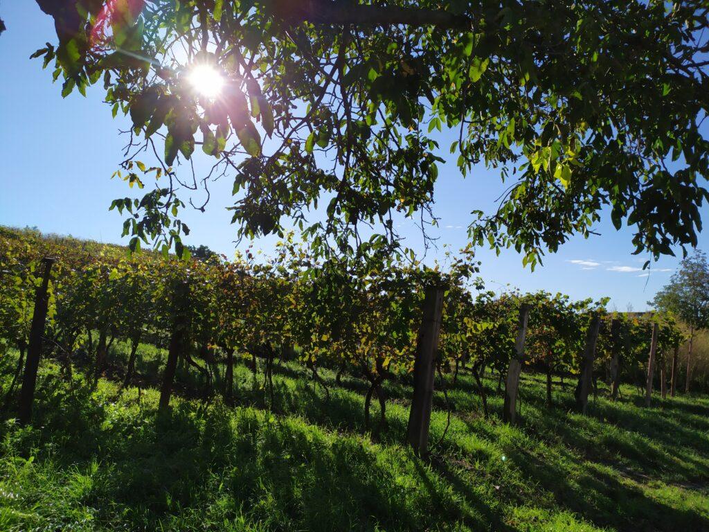 Mutěnské vinohrady